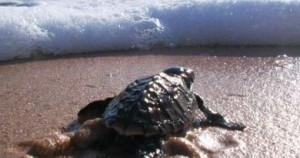 Οι θαλάσσιες χελώνες βρίσκουν πάντα το δρόμο τους