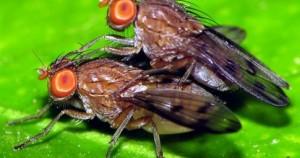 μύγες Drosophila