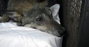 Διασώστρια δίνει το φιλί της ζωής σε τραυματισμένο λύκο