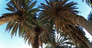 Φοινικόδεντρα