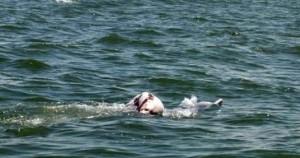 «Μαμά» δελφίνι κουβάλησε το σώμα του νεκρού μωρού της
