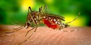 Κουνούπι Δ.Νείλου