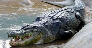 Ο κροκόδειλος, που ευθύνεται για φονικές επιθέσεις