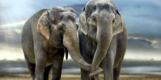 Aφρικανικοί Ελέφαντες