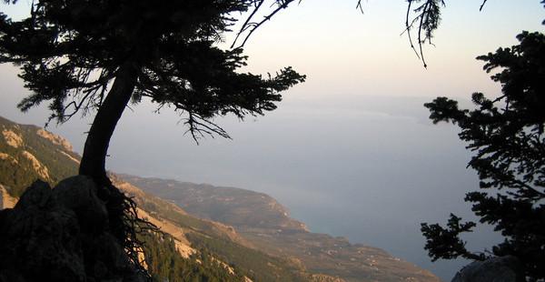 Ελάτη Κεφαλληνιακή ή μαύρο έλατο