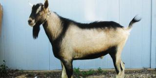 Δήμος Κεφαλλονιάς: Σύλληψη των ανεπιτήρητων παραγωγικών ζώων