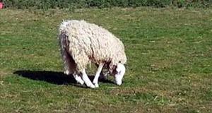 Πρόβατο με ανάποδο κεφάλι