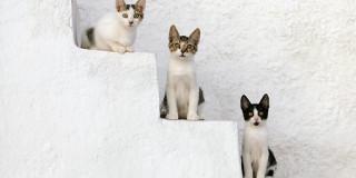 Γάτα του Αιγαίου
