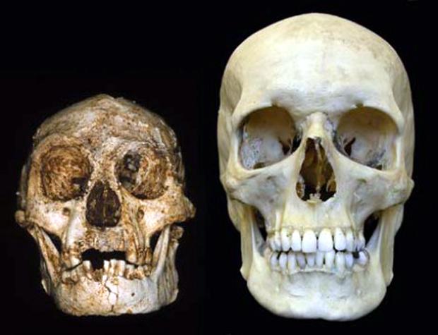 Κρανία Homo Floresiensis - Homo Sapiens
