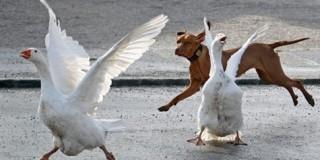 Γεννημένοι κυνυγοί, οι σκύλοι κυνηγούν και σκοτώνουν μικρά ζώα, ακόμα και ως παιχνίδ