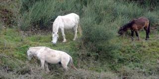 Άγρια άλογα του Αίνου
