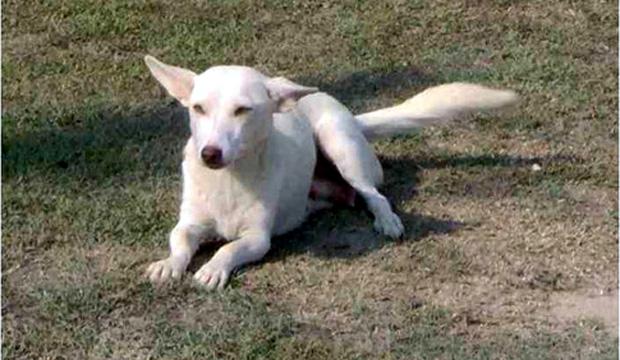 Ενα άλλο από τα σκυλιά που βρέθηκαν να ταιριάζουν με τα χαρακτηριστικά της αλωπεκής (ΑΠΕ)