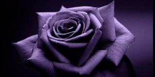 Μωβ τριαντάφυλλο