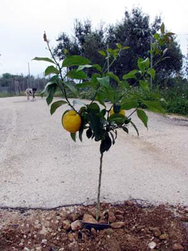 Φύτεμα Λεμονιάς