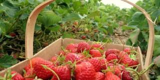Μηδαμινή ανταπόκριση ανέργων για απασχόληση στα φραουλοχώραφα