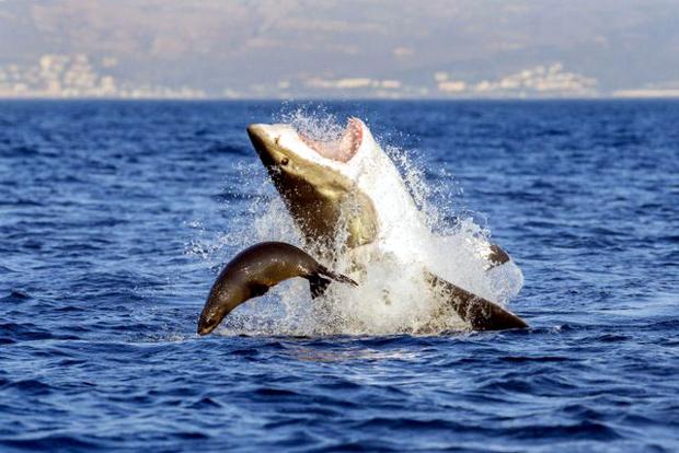 Οι «πιρουέτες» του καρχαρία