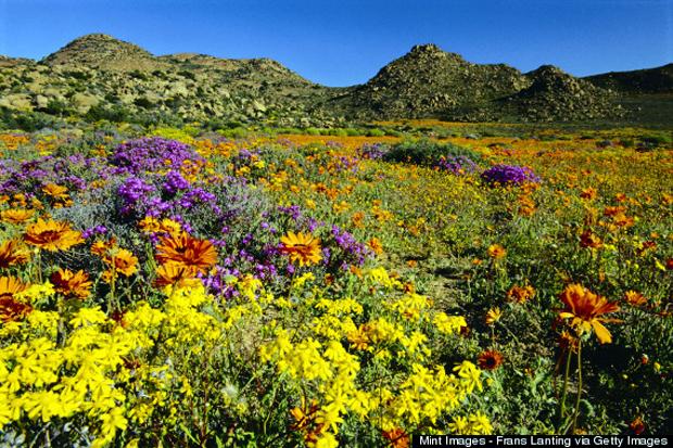 Flowering namaqua
