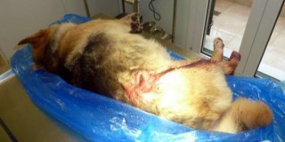 Τραυματισμός σκύλου από σφαίρα