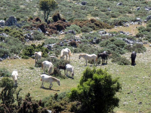 Άγρια Άλογα της Κεφαλονιάς