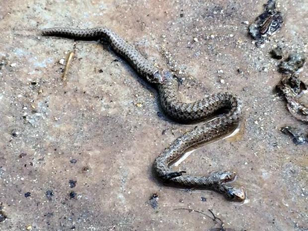 Φίδι με δύο κεφάλια
