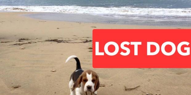 Χάθηκε το πανέμορφο κουταβάκι Beagle