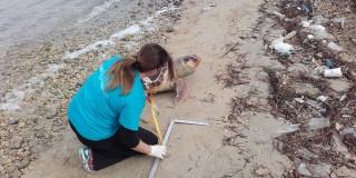 Δύο θαλάσσιες χελώνες νεκρές